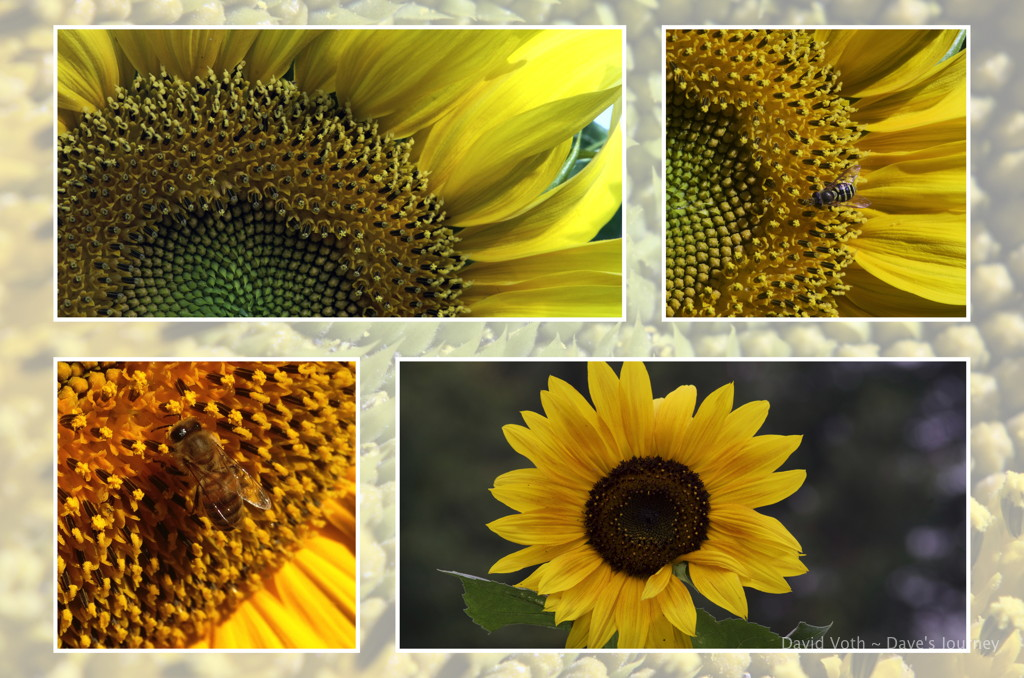 Photos of sunflower in a collage