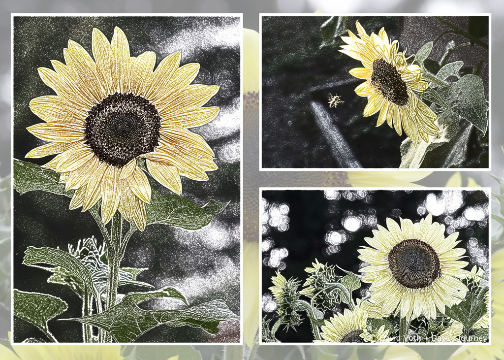 Collage of stylized sunflower photos