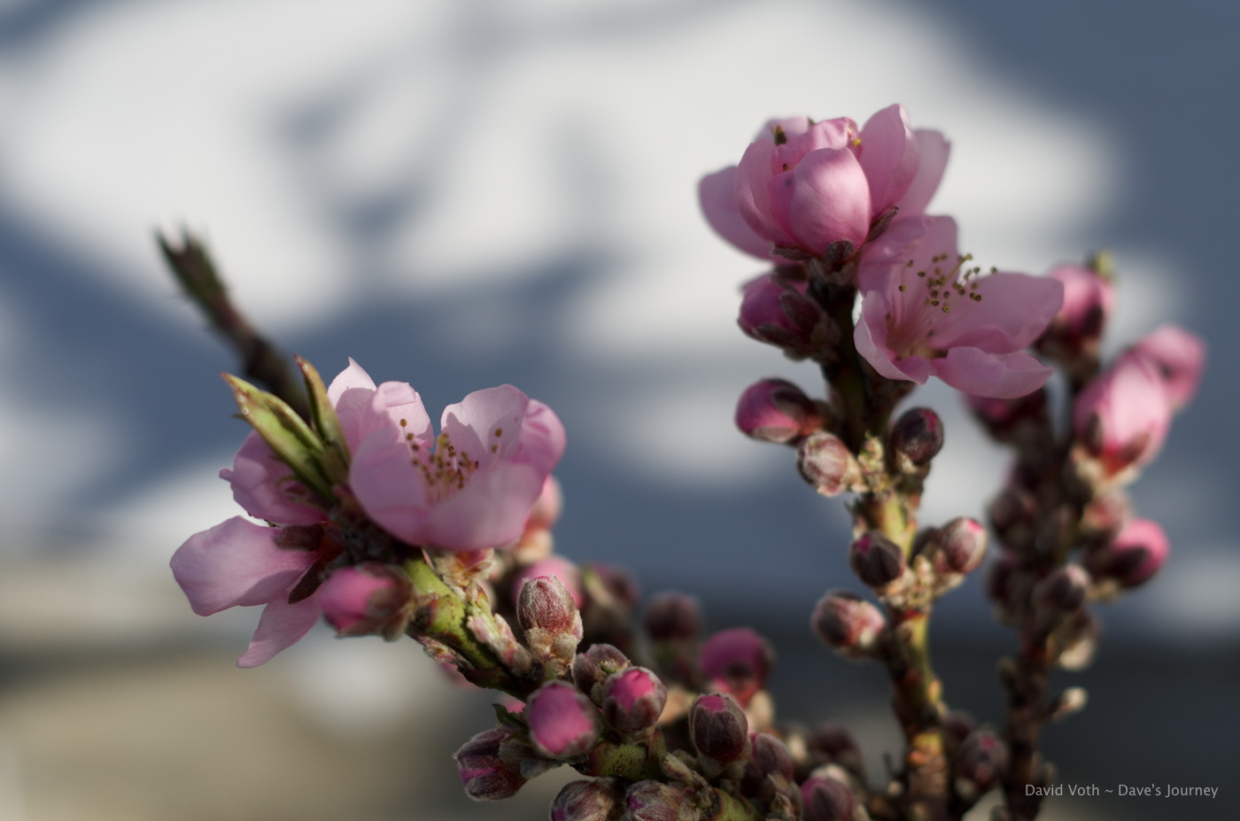 Photo of peach blossoms