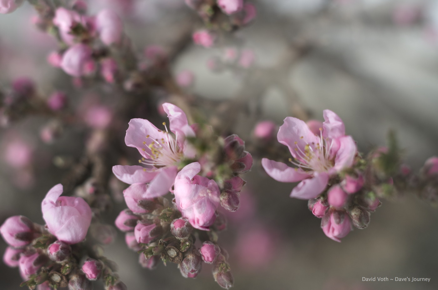 Double exposure of peach blossoms