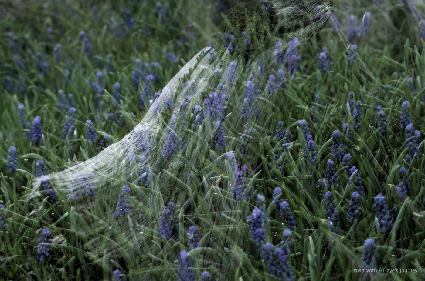Double exposure with Grape Hyacinth