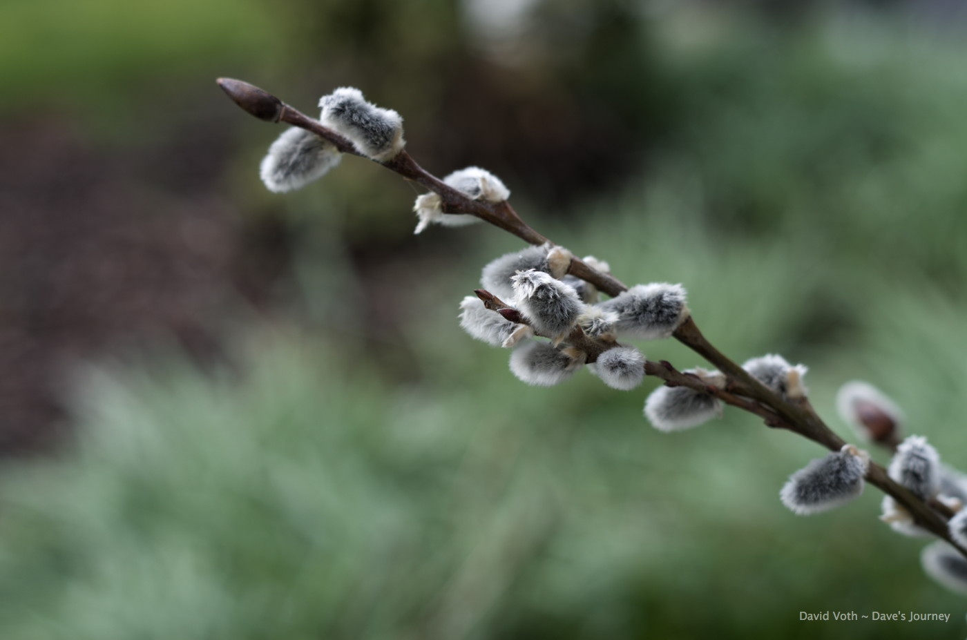 Photo of pussy willow