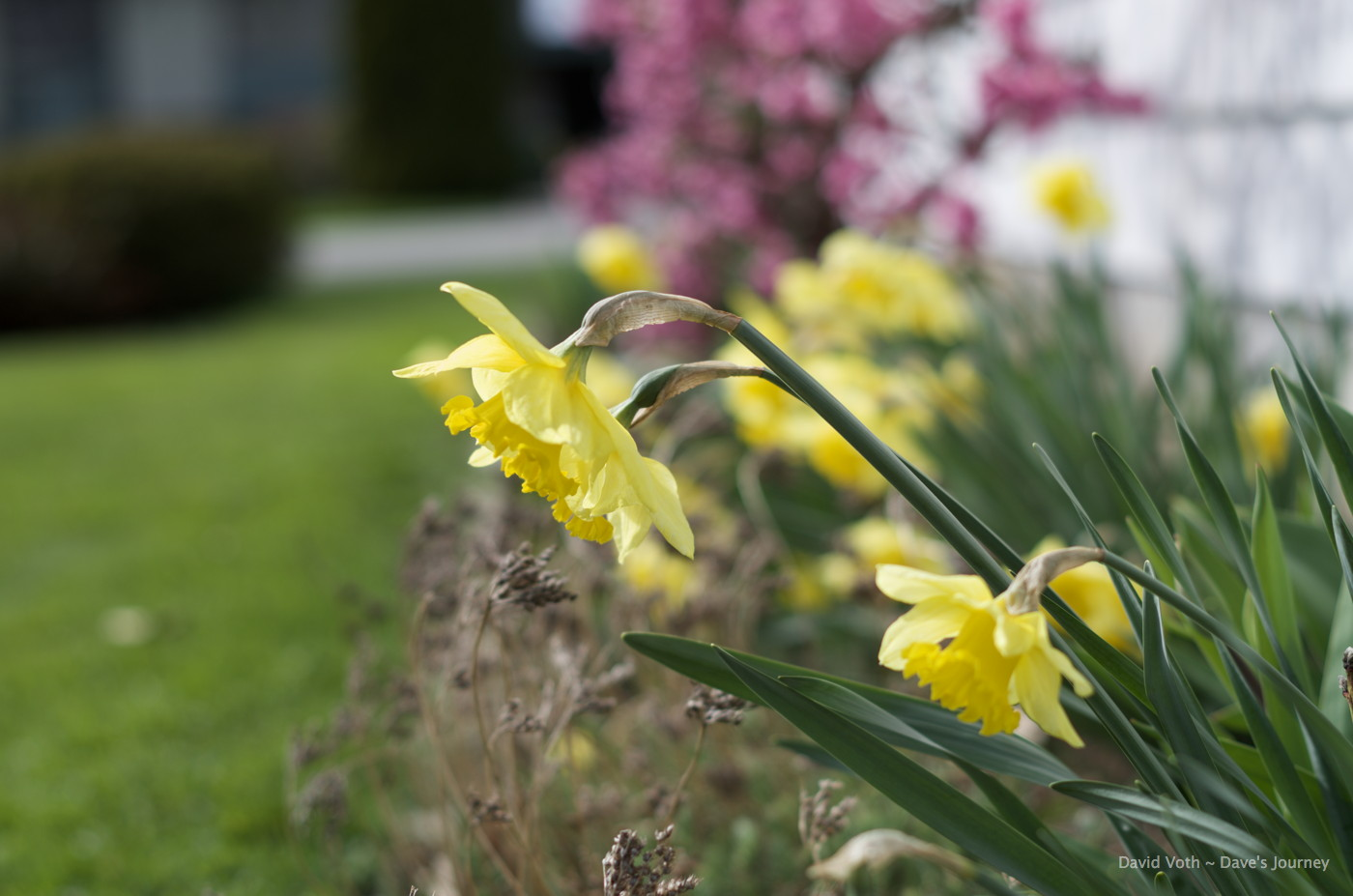 Photo of daffodils