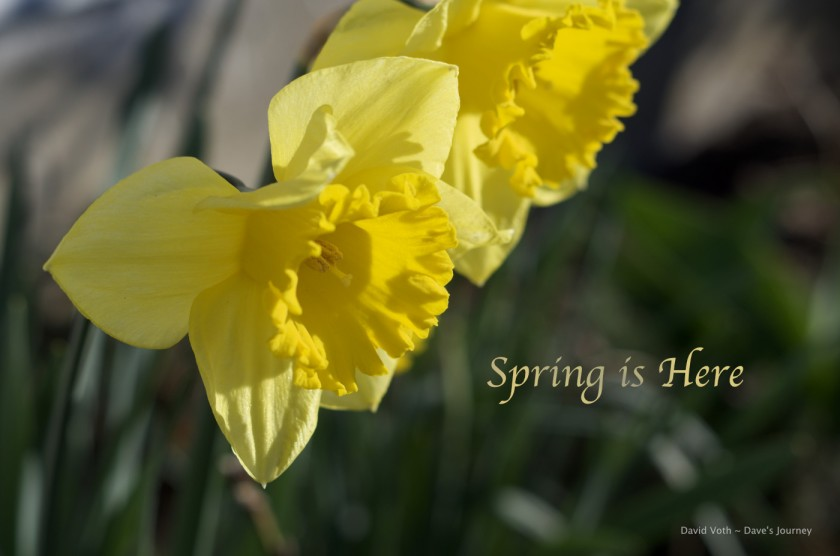 Spring is Here - Photo of daffodils