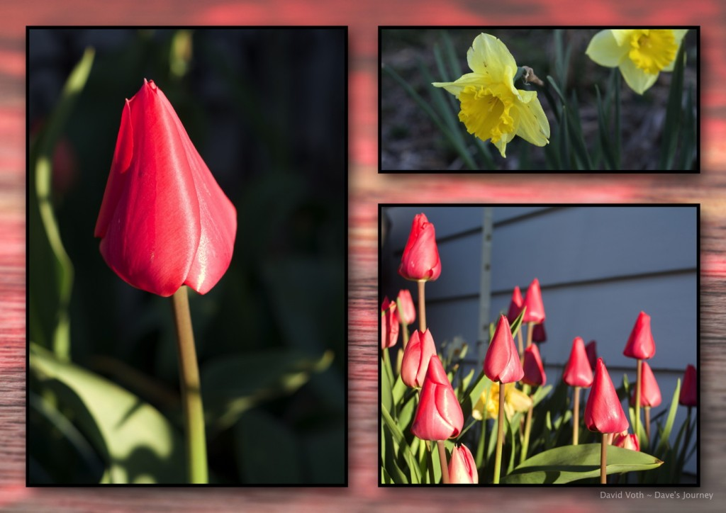 Photos of tulips and daffodils