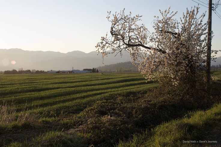 Photo of fields and tree with blossoms