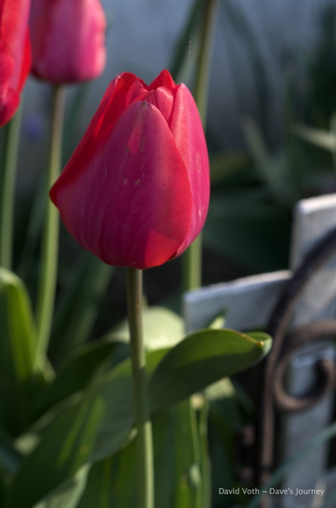 Photo of a red tulip