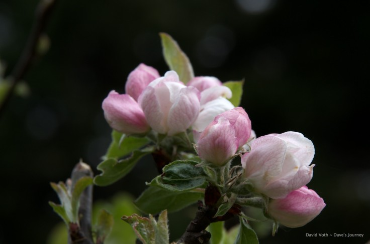 Photo of apple blossoms