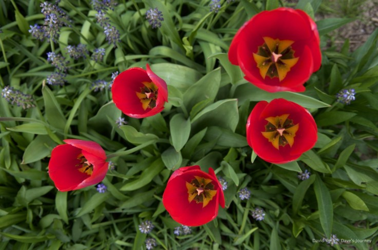 Photo of 5 tulips from above