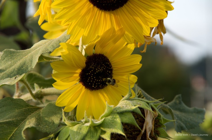Photo of sunflower with bee